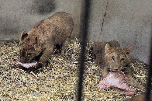 3月1日 釧路市動物園 ライオンのパクパクタイム