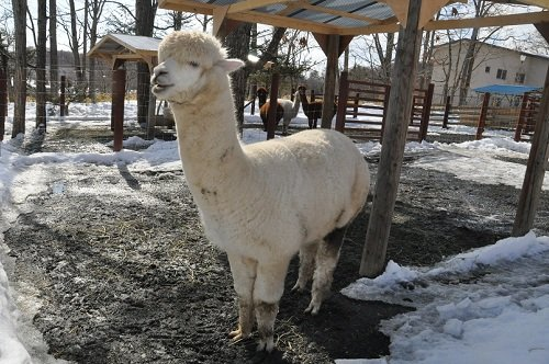 3月2日 釧路市動物園 アルパカ一家