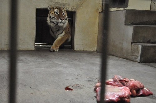 3月2日 釧路市動物園 猛獣舎のパクパクタイム