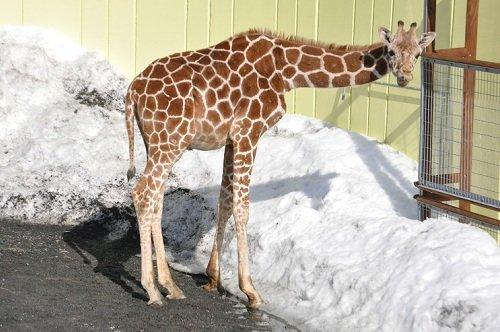 3月2日 釧路市動物園 アミメキリン スカイ