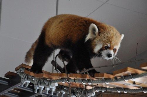3月16日 円山動物園 レッサーパンダ