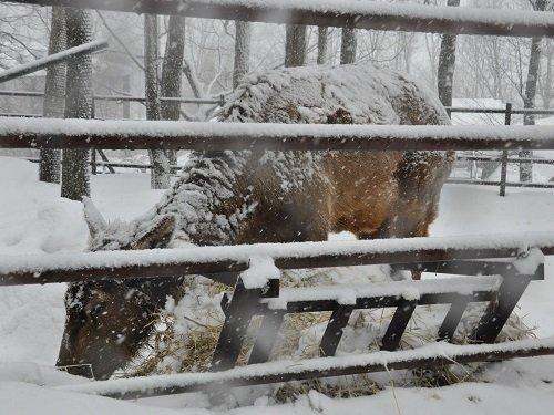 3月18日 旭山動物園 ワピチ サチ