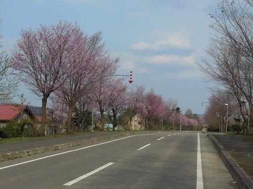 5月8日 滝上町 今日の濁川地区・・・濁川公園の桜が満開です!