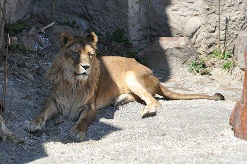 4月20日 円山動物園 ライオン 気になるティモンの胸毛?