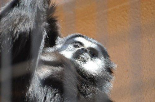 4月20日 円山動物園 シロテテナガザル コタロー