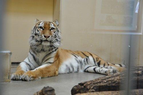 5月18日 釧路市動物園 アムールトラ ココアのお誕生会1