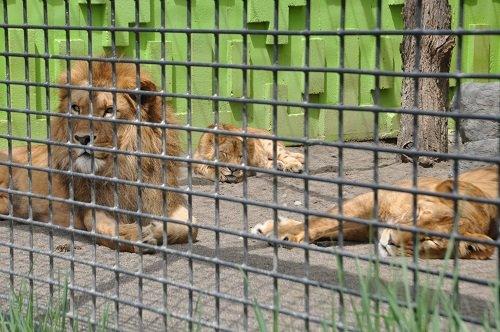 5月18日 釧路市動物園 ライオン一家