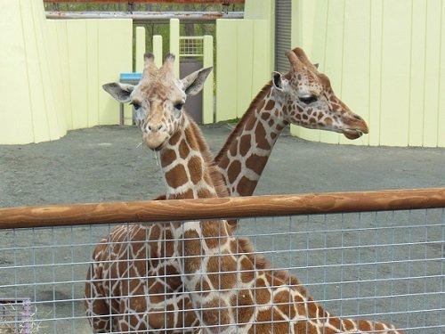 5月18日 釧路市動物園 アミメキリン スカイとコハネ