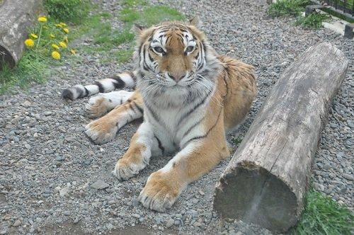 5月18日 釧路市動物園 アムールトラたち