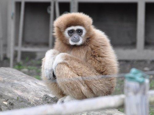 旭山動物園 シロテテナガザル|...