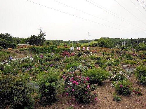 本日7月6日 「美はらし丘バラ園」 プレオープン!
