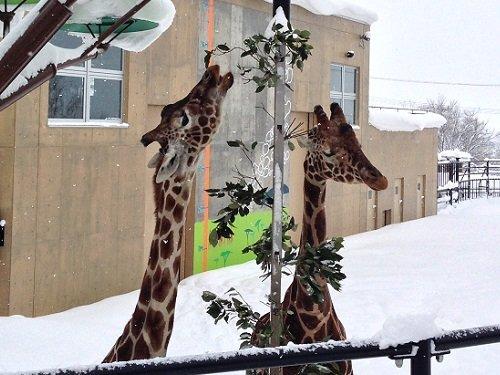 訃報 旭山動物園 アミメキリン マリモ