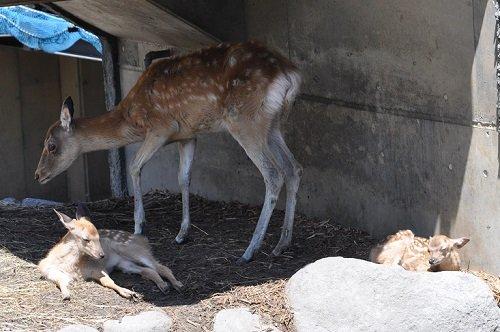 7月21日 旭山動物園 エゾシカの赤ちゃんたちとおばあちゃん?