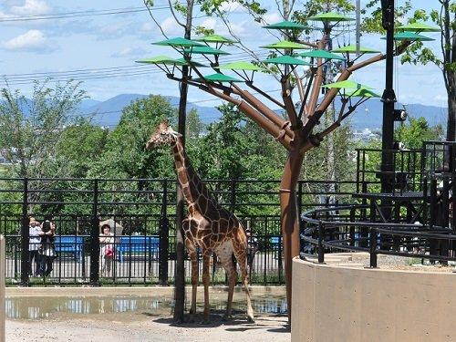 7月23日 旭山動物園 アミメキリン ゲンキが7歳になりました!