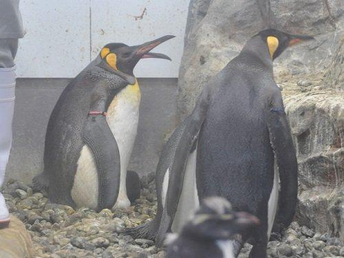 7月21日 旭山動物園 ぺんぎん館のヒナたち