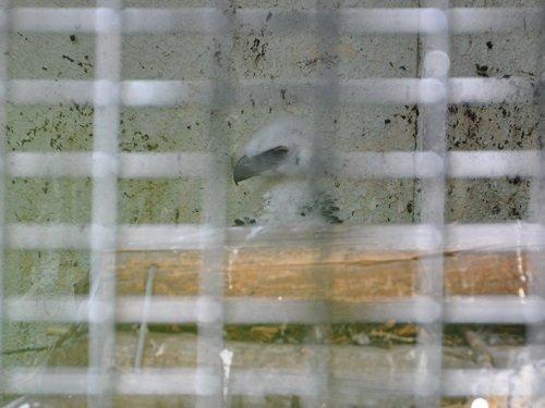 7月21日 旭山動物園 クマタカのヒナ