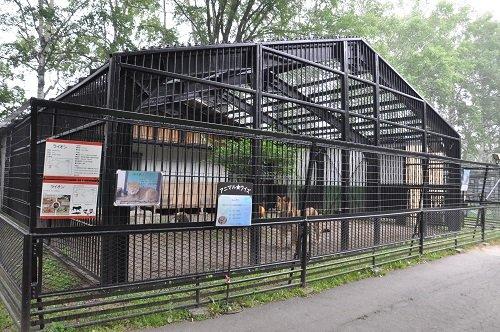 7月26日 おびひろ動物園 ライオン ヤマト1