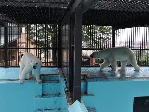 7月26日 おびひろ動物園 ホッキョクグマ兄妹 お魚贈呈式