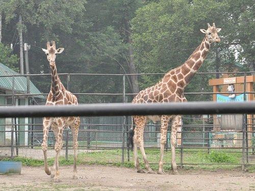 7月26日 おびひろ動物園 アミメキリンご夫婦
