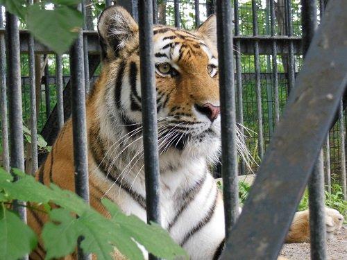 7月26日 おびひろ動物園 アムールトラ マオ