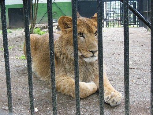 7月26日 おびひろ動物園 ライオン ヤマト2