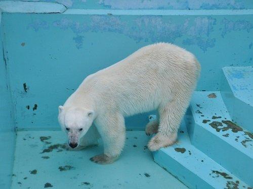 7月26日 おびひろ動物園 ホッキョクグマ イコロのお食事