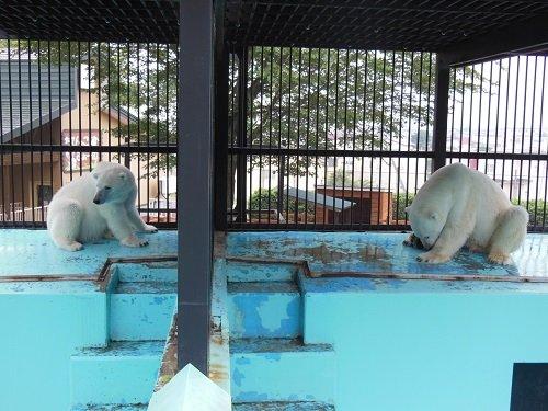 7月26日 おびひろ動物園 ホッキョクグマ 食後の2頭 雨宿りする2頭