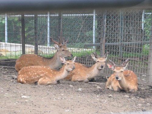 7月26日 おびひろ動物園 エゾシカの大家族
