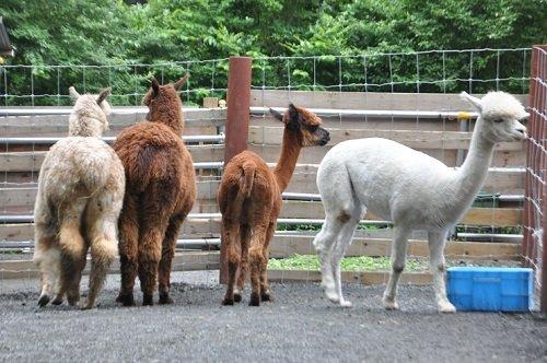 7月27日 釧路市動物園 アルパカのメスたち・・・小柄なルビーちゃん