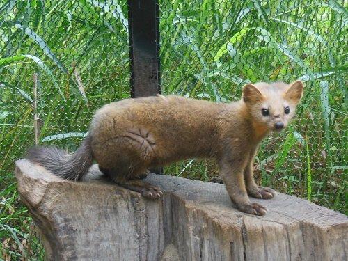 7月27日 釧路市動物園 エゾクロテン てんてん