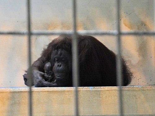 7月27日 釧路市動物園 オランウータン ひなとロリー親子