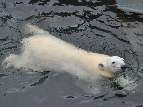 7月27日 釧路市動物園 ホッキョクグマ ミルク2