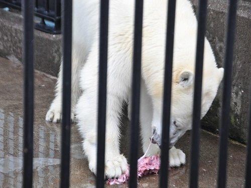 7月27日 釧路市動物園 ホッキョクグマ ミルク3