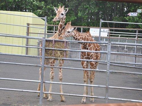 7月27日 釧路市動物園 アミメキリン スカイとコハネ