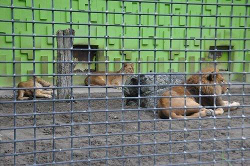 7月27日 釧路市動物園 ライオン 父アキラにじゃれ付く、息子ゆうひ