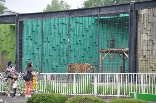 7月27日 釧路市動物園 アムールトラのそれぞれ