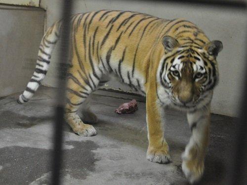 7月27日 釧路市動物園 猛獣舎のパクパクタイム