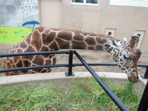 8月10日 旭山動物園 アミメキリン ゲンキ