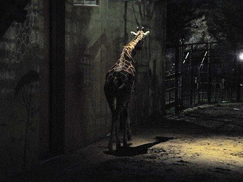 8月10日 夜の旭山動物園 アミメキリンのナイトウォッチング