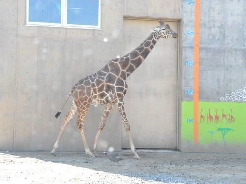 9月15日 旭山動物園 アミメキリン ゲンキ