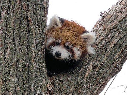10月13日 円山動物園 レッサーパンダの赤ちゃん