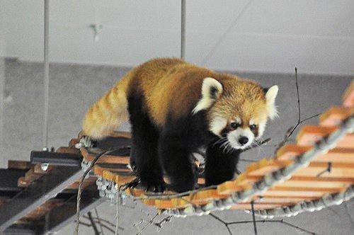 10月13日 円山動物園 レッサーパンダ ココ親子以外