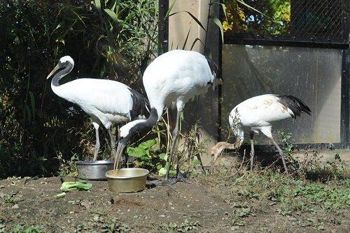 10月15日 旭山動物園 タンチョウの幼鳥