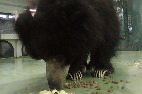 11月2日 円山動物園 ナマケグマ 熱帯動物館へ居候中のゴマキ