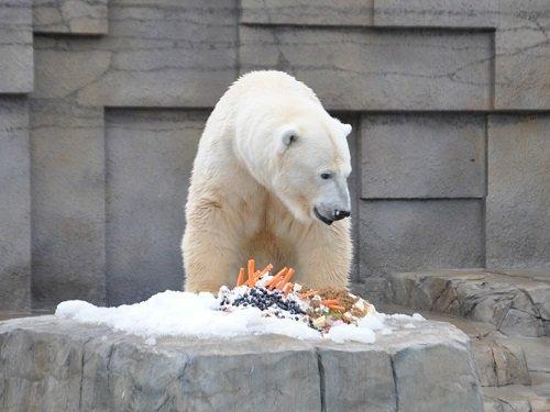 11月2日 円山動物園 ホッキョクグマ アニマルファミリー限定イベント