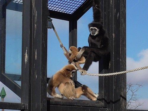 11月11日 旭山動物園 シロテテナガザル親子