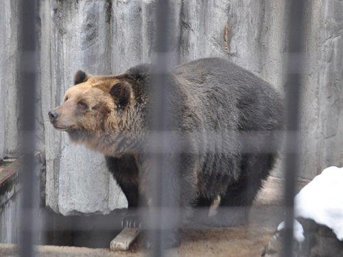 11月19日 旭山動物園 エゾヒグマ とんこのもぐもぐタイム