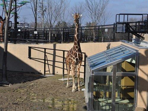 11月11日&19日 旭山動物園 アミメキリン ゲンキ