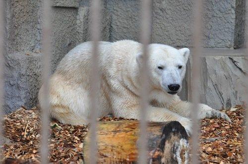 11月3日 円山動物園 ホッキョクグマ まったりデナリ