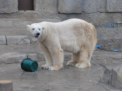 11月3日 円山動物園 ホッキョクグマ デナリの朝